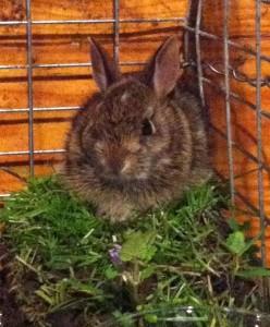 Wild bunny in rehab